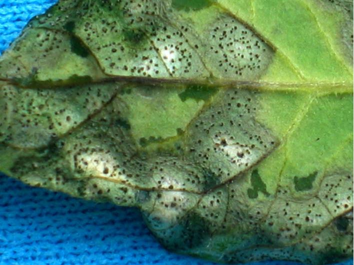 Septoria yaprak lekesi 3