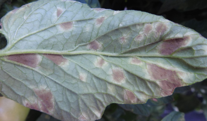 Yaprak küf hastalığı 10