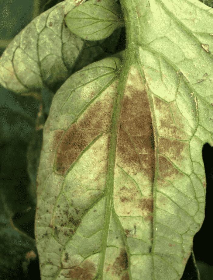 Yaprak küf hastalığı 4
