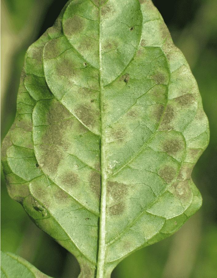 Yaprak küf hastalığı 7