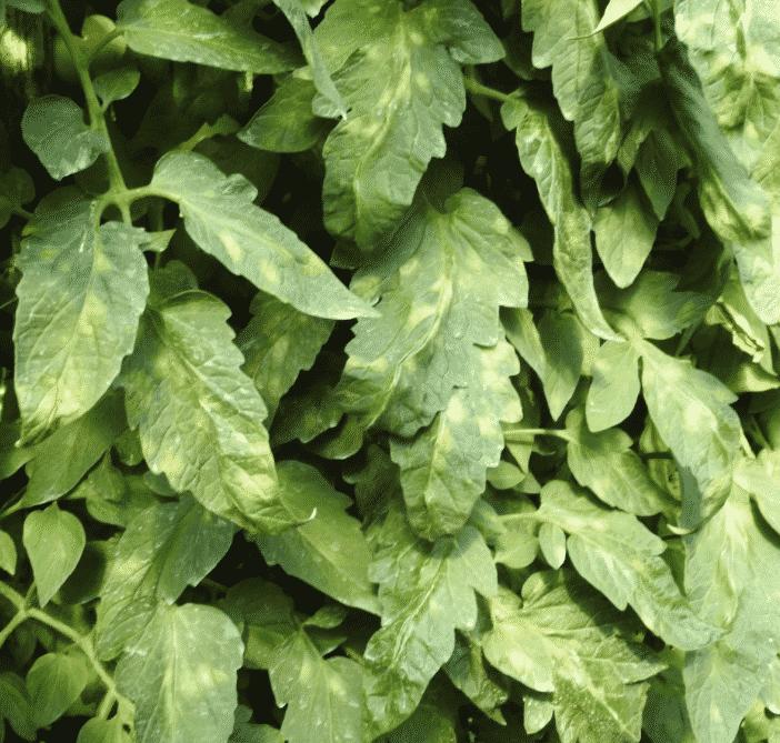 Yaprak küf hastalığı 8