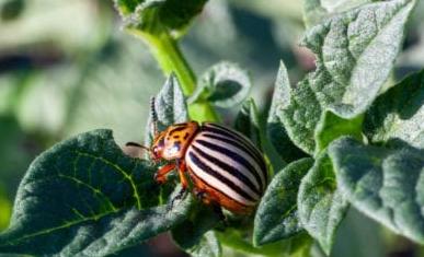 Colorado Patates Böceği 1