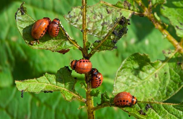 Colorado Patates Böceği 2