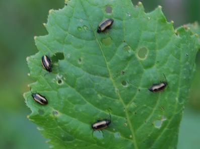 Pire Böceği 3